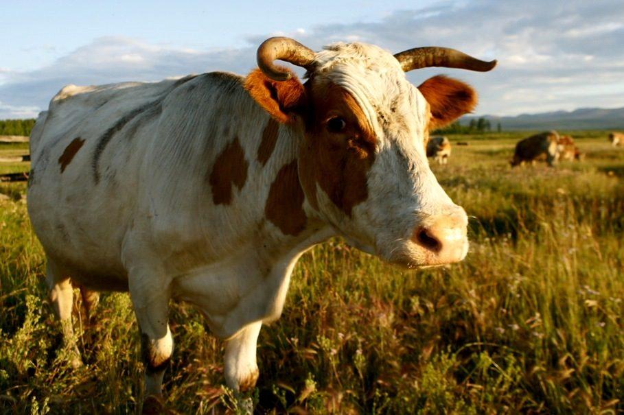 Чиновники Якутии уничтожают молочные хозяйства