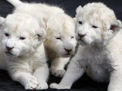 В зоопарке Тбилиси родились белые львята