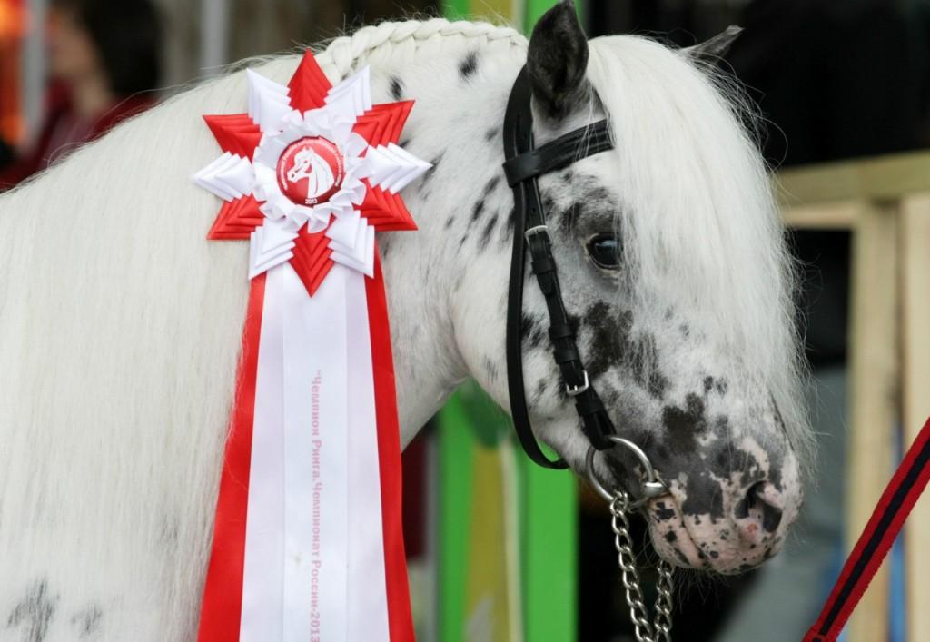 Волгоградцы в качестве домашних животных в год лошади выбирают Аппалуза-пони