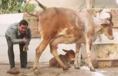 Моча коровы – лекарство от всех болезней