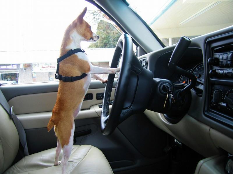 Собака угнала машину своего хозяина и попала в ДТП
