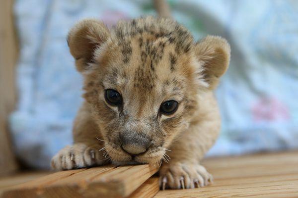 В купе поезда нашли живого львенка