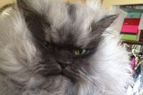 В США умер  самый пушистый кот в мире Полковник Мяу