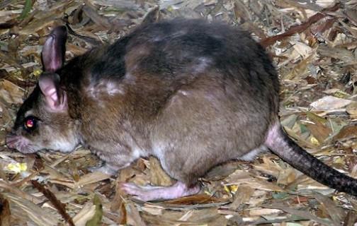 Ученые: в будущем Землю захватят гигантские крысы