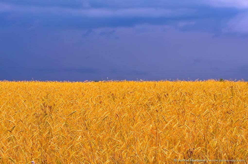 Китай скупает плодородные земли Украины. Исчезнет ли основной цвет с желто-голубого флага страны, олицетворяющий пшеничные поля?