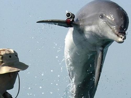 Службу ВМФ России пополнят крымские боевые дельфины