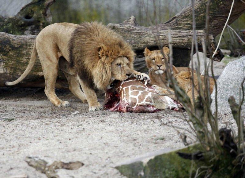 Львы, которые съели жирафа Мариуса, тоже умерщвлены