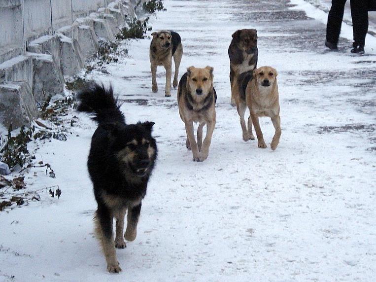 В Якутии собаки загрызли 9-летнего ребенка