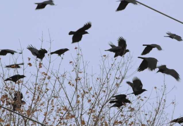 В Златоусте вороны напали на детский сад