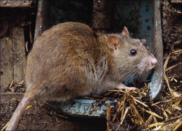 Британия переживает нашествие гигантских крыс