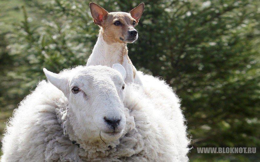 Неправильная овца