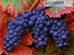 Экстракт виноградных косточек  превосходит химиотерапию в убийстве раковых клеток.