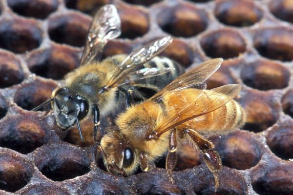 Африканские медоносные пчелы ужалили мужчину больше тысячи раз