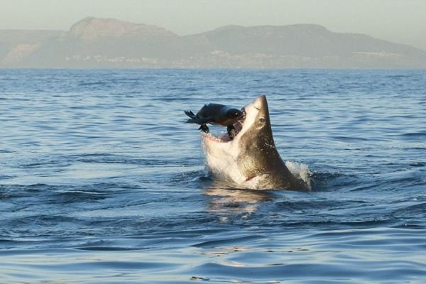 Большая белая акула погибла подавившись морским львом
