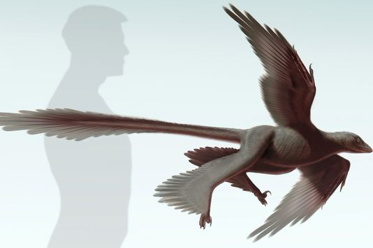 Четырехкрылый динозавр чанюйраптор приземлялся, используя длинные перья хвоста