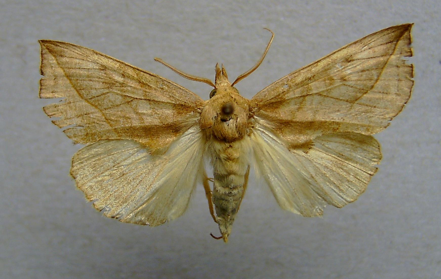Екатеринбуржанку чуть было не пустили домой из-за укуса египетской бабочки-вампира