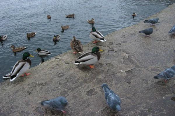 Причиной гибели птиц в «Сокольниках» может быть сальмонелла