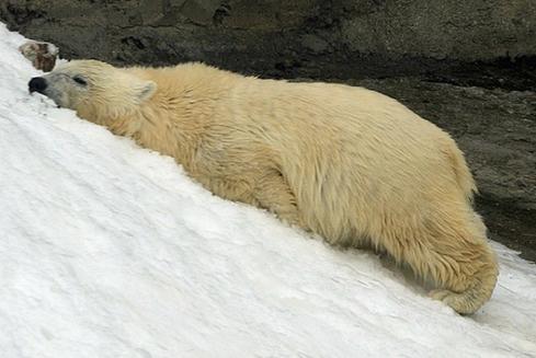 Белых медведей охлаждают из пушки со снегом в Московском зоопарке