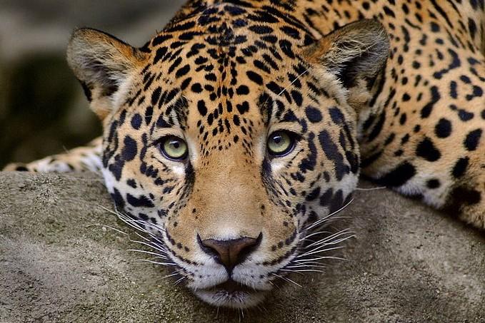Леопарда арестовали в Москве
