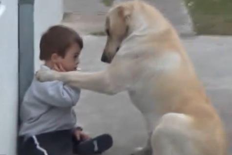 Собака породы Лабрадор заботится о ребенке с синдромом Дауна
