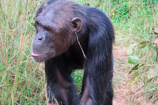 Шимпанзе умеют следовать моде