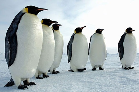 На Земле жили пингвины-гиганты