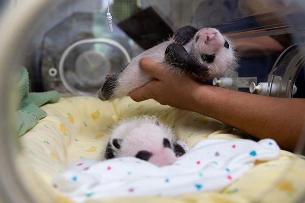 В Гуанчжоу родились первые в мире панды-тройняшки