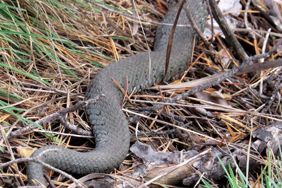 Во Владимирской области маленькая школьница умерла после укуса змеи