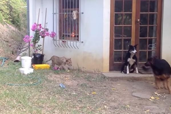 В сети набирает популярность видеоролик с участием львенка и собаки