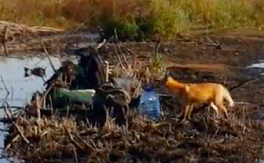 В Тверской области лиса пыталась стащить у рыбаков ботинки и перчатки