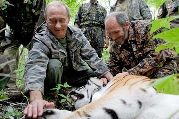 Тигр Кузя, выпущенный Путиным в Приморье, мигрировал в Китай