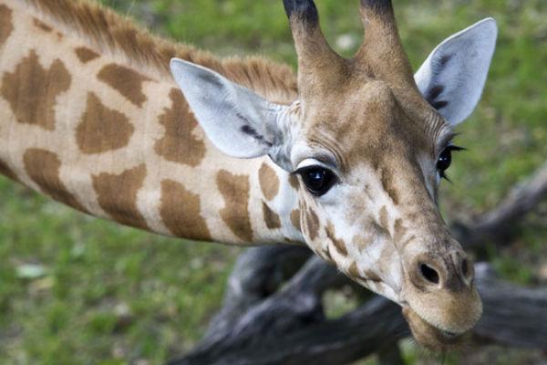 В Швейцарском зоопарке посетителей кормили мясом обитателей