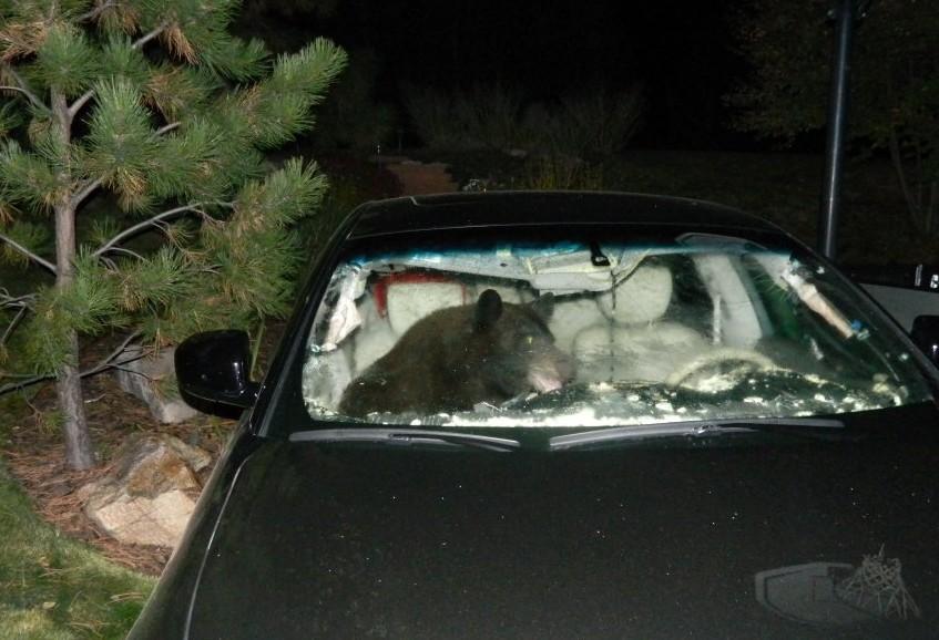 В США медведь попытался угнать автомобиль