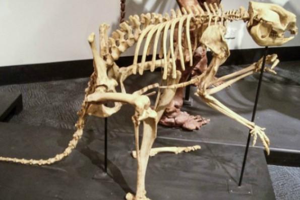 Доисторические кенгуру не умели прыгать