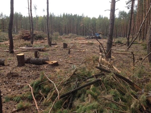 Воронежские чиновники вырубают лес под застройку