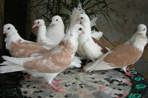 Рецидивист из Волжского украл выставочных голубей, чтобы съесть