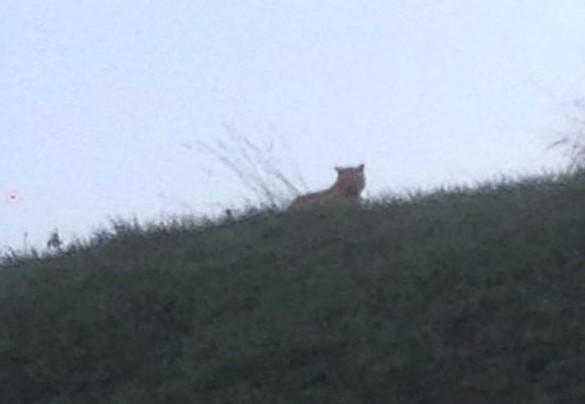 В Париже ловят тигра рядом с Диснейлендом