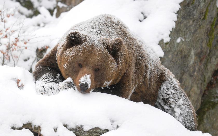 Машинисты, сбившие медведя в Норильске, не могли избежать столкновения