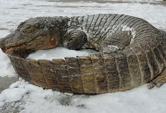 Украинские энергетики убили крокодила в Крыму