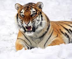 На Дальнем Востоке посчитают тигров и леопардов