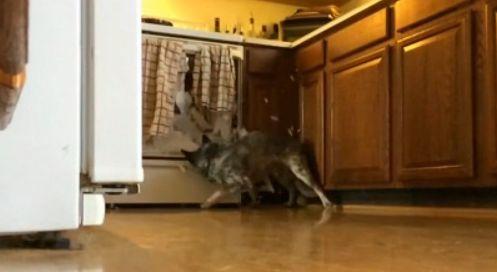 Пес пробил головой стекло духовой печи
