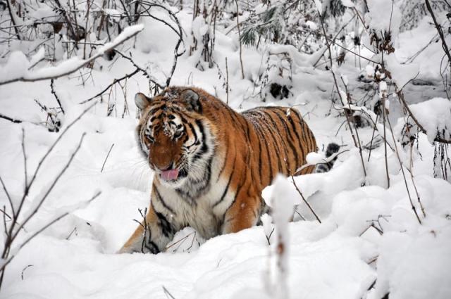 Тигр Путина вернулся в Россию