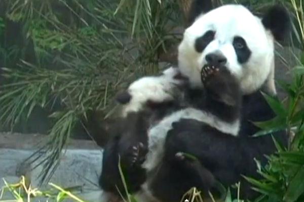 Вновь увидевшая детенышей мама-панда влюбила в себя Интернет