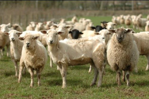 В Швейцарии поезд сбил насмерть стадо овец