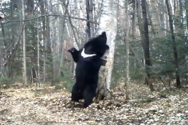 Танец медведя с деревом стал хитом интернета