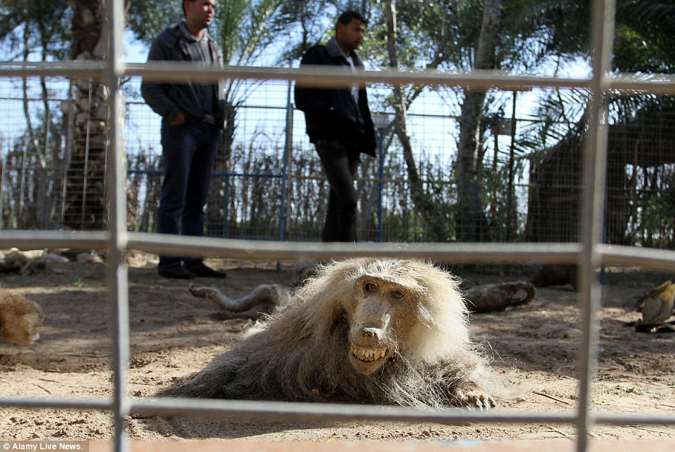 Израильтяне заморили голодом животных из палестинского зоопарка