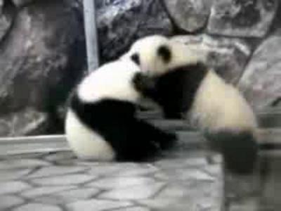 Видео с дракой панд в Китае набрало почти миллион просмотров