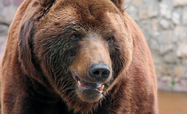 Cочинским медведям-алкоголикам поможет Фонд Брижит Бардо