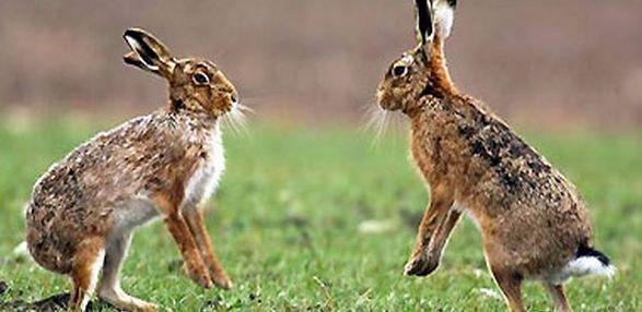 В Подмосковье из-за аномального потепления у зайцев начался брачный период