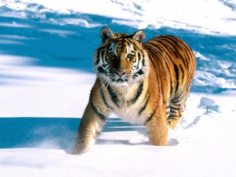Перепись амурских тигров отложили из-за снегопадов